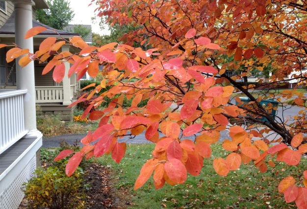 bright orange leaves on Juneberry bush in October